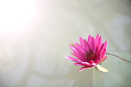 flora, flower, lotus, nature, pink, plant, lotus Water Lily