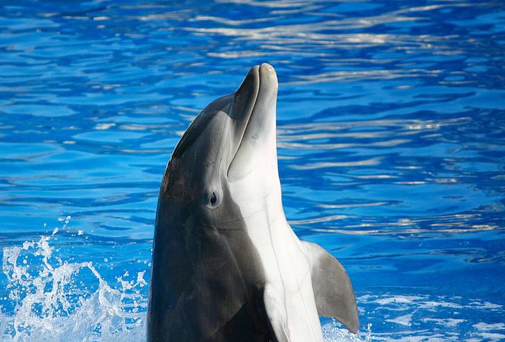 flasknosdelfin, Marina däggdjur, fisk, Marine, havet, bottlenose, Ocean