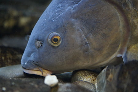 fish, fish head, fish eye, river, freshwater, freshwater fish, water