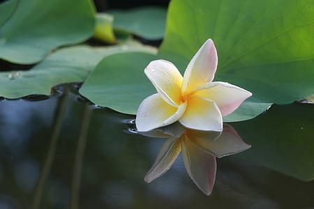 꽃, 프 르 메리 아, 더 많은 정보, 흰색 꽃, fragrapanti, 하얀, 꽃
