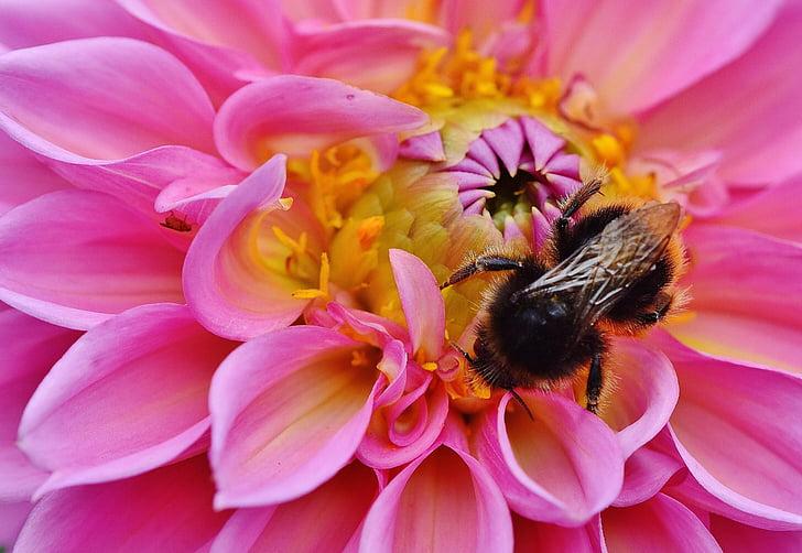 Далия, Хумел, далии, Есен, Сложноцветни, цветна градина, Декоративни цветя