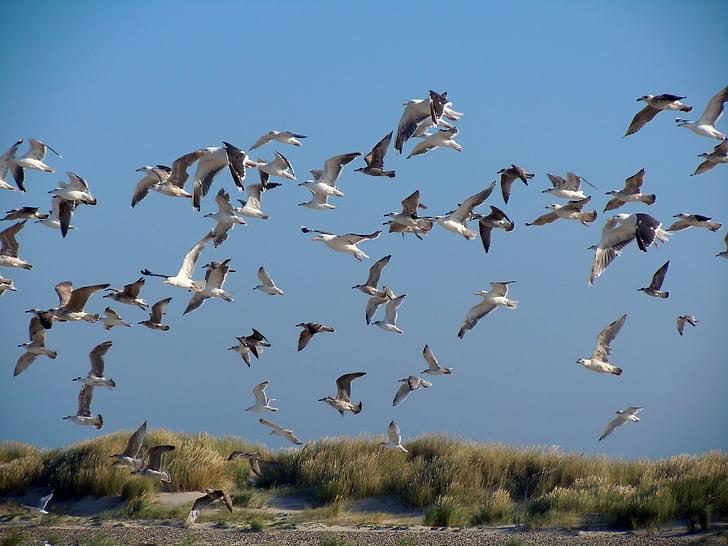 чайки, Дюни, морски птици, птици, птица, природата, дива природа