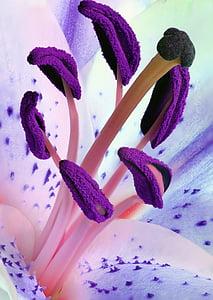 lily, stamens, pollen, flower, nature, plant, stamen