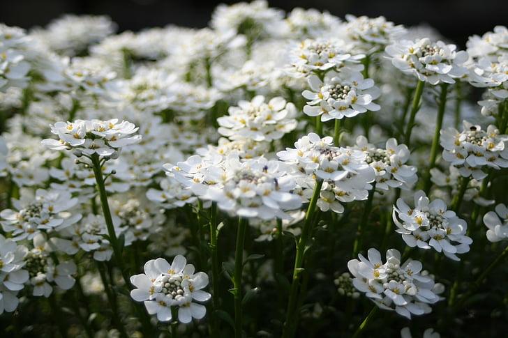 trắng, Hoa, Thiên nhiên, hoa mùa hè, Hoa, mùa xuân, thực vật