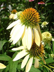 Coneflower, kuning, mekar, bunga, tanaman, putih, mekar