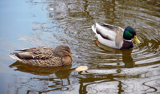 ducks, birds, mallard duck