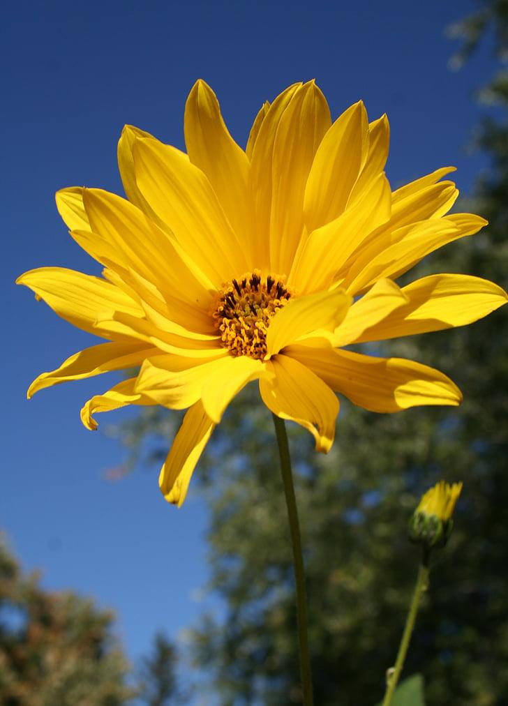 woodland sunflower, flower, floral, wildflower, yellow, helianthus divaricatus, perennials