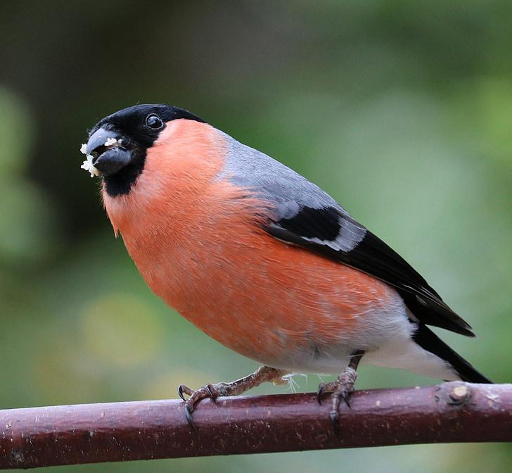 bullfinch, bài hát chim, con chim, vườn chim, Nam, màu đỏ