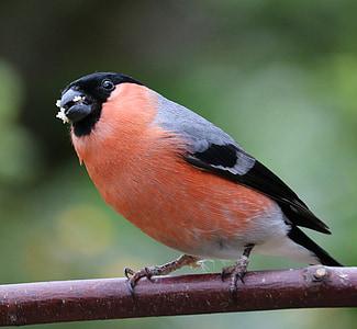 Bullfinch, lagu burung, burung, Taman burung, Laki-laki, merah