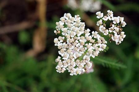 Metsik porgand, looduslike taimede, lill, õis, Bloom, Makro, väike metsik lill