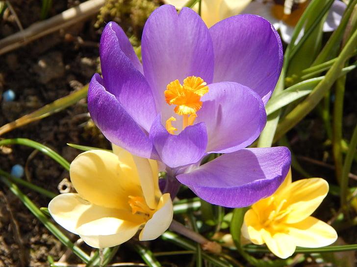 safrà, primavera, flors de primavera, primer bloomer, signes de la primavera, l'inici de la primavera, despertar de la primavera