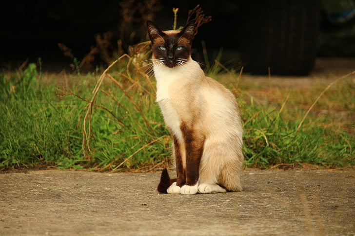 cat, mieze, siamese cat, siamese, breed cat