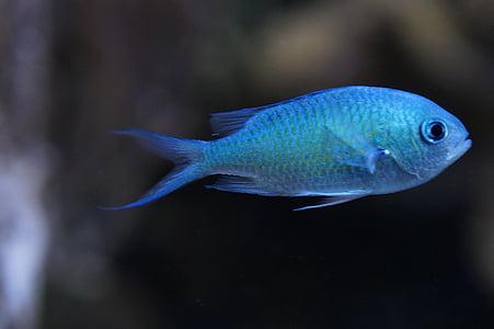 schwalbenschwänzchen, peix, blau clar, blau, eixam de peixos, sota l'aigua, l'aigua