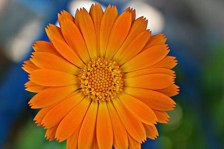 Medetkų, žiedų, gėlė, oranžinė, augalų, vasaros, Gamta