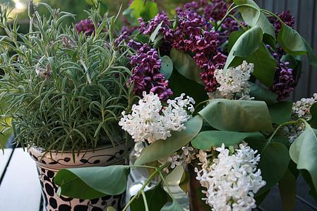 RAM, flors, es, romaní, floració, porpra, blanc