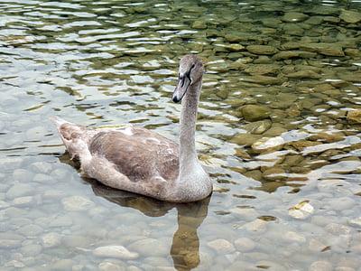 animal, swan, cygnet, bird, swan young, nature, lake
