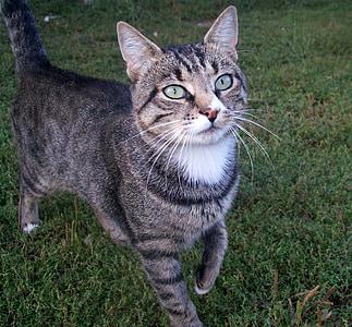 cat, pet, domestic Cat, pets, animal, grass, cute