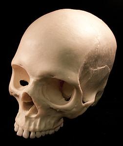 skull, skeletons, bones, fear, terror, death, anthropology