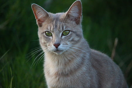 cat, mieze, tiger cat, breed cat, mackerel, cat's eyes, kitten