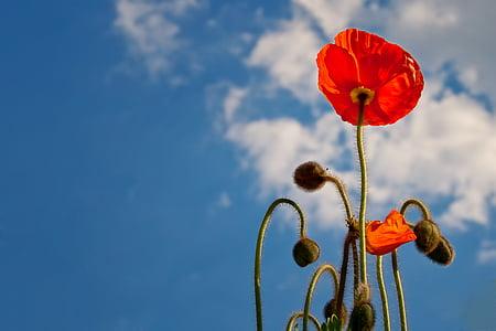 poppy, sky, blue, nature, flower, blossom, bloom