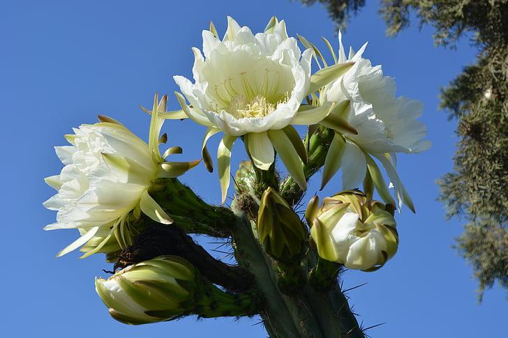 flor, cactus amb flors, flors, jardí, floració, flors de cactus, cactus