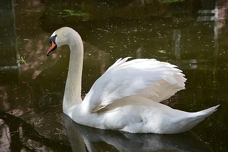 swan, bird, grace, pond, swans, birds