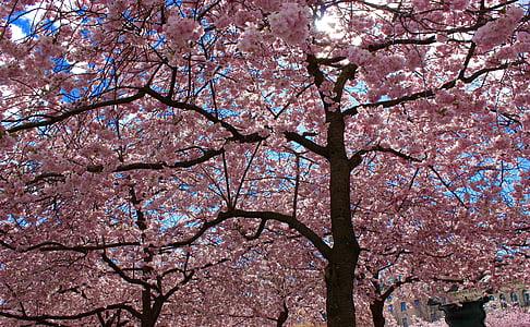 trešnje, trešnja, Trešnjin cvijet, cvjetnice stabala, Japanska trešnja, ružičasto cvijeće, cvatnje