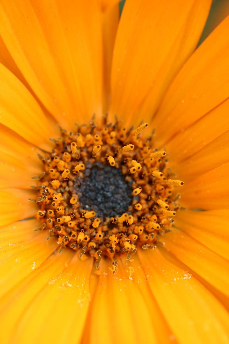 Gerber, Margarida, flor, primavera, floral, flor, flor