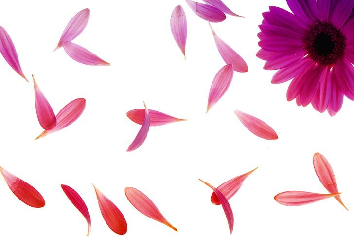 daisy, falling, flora, floral, flower, petals, pink