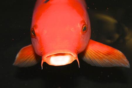 animal, close-up, fish, koi, orange, water