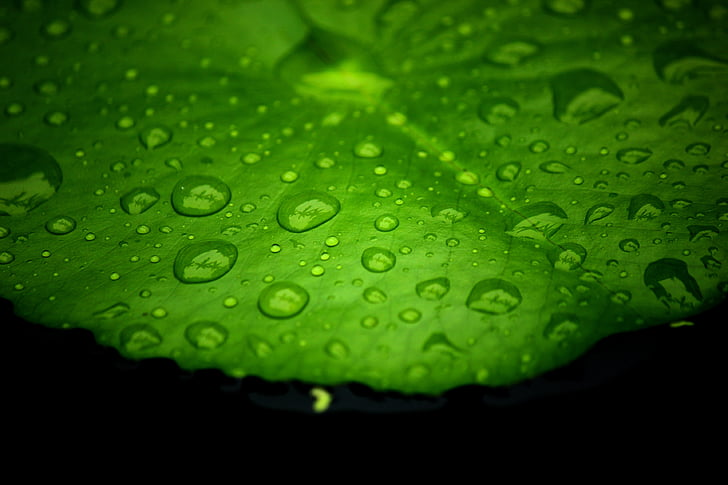 Lotus listov, vodo na listih lotus, kapljice vode