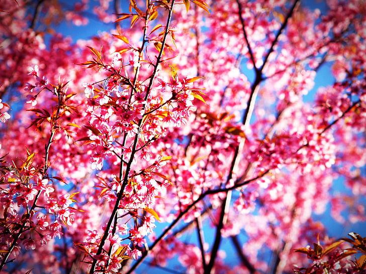 Sakura, flor, Prunus cerasoides, Himàlaia silvestres cirera, Tailàndia, florint a phu lom vet muntanya, Phitsanulok