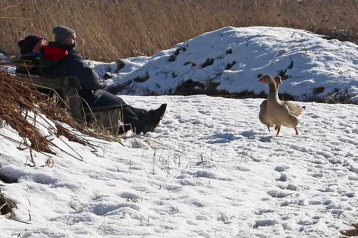 nature, winter, snow, animals, animal, geese, migratory birds