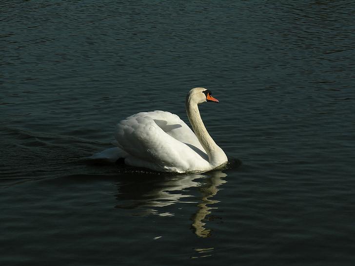 Cigno, animale, acque, uccello acquatico, uccello di anatra, Lago, mondo animale