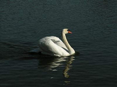 Cigne, animal, aigües, ocell d'aigua, ocell d'ànec, Llac, món animal