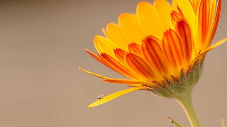 vattendroppe, blomma, vatten droppe blomma