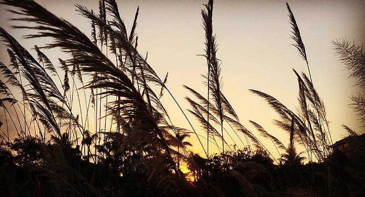 twilight, sunset, reed