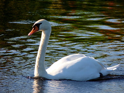 swan, bird, waterfowl, animals, nature, swimming, wedding