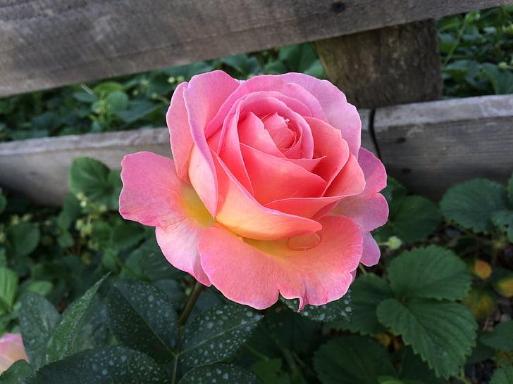 Rose, Rose, Blossom, Bloom, roses de jardin, fleur parfaite, nature
