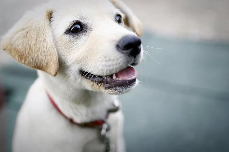 犬, 子犬, 笑顔, かわいい, ペット犬