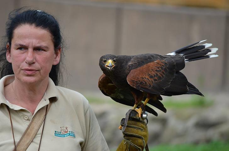 falcon, raptor, falkner, birds of prey show, bird of prey