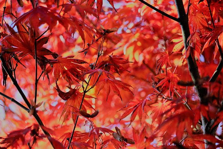 ฤดูใบไม้ร่วง, เมเปิ้ล, ใบ, สีแดง, ใบไม้, ใบ, การเปลี่ยนแปลง