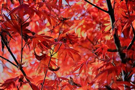 tardor, auró, fulles, vermell, fullatge, fulla, canvi