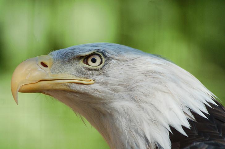 орел, птица, природата, естествени, Американски, раптор, дива природа