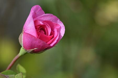 Rožė, meilė, rožinė, gėlė, Vestuvės, Romantiškas, dieną