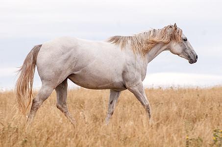 con ngựa, màu xám, con ngựa, động vật, màu xám, ngựa, Mane