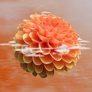 Dahlia dahlia, blomma, Blossom, Bloom, naturen, Anläggningen, Flora