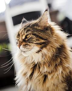 kitten, cat, sweet, animal, mustache, coat, persian