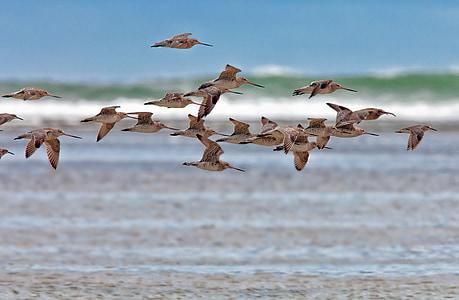 ocell, el tipus, vol, Costa, passar, ona, Costa d'origen Ujung