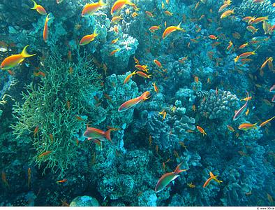 vida de l'oceà, sota l'aigua, colors, peix, coralls, Mar, animal